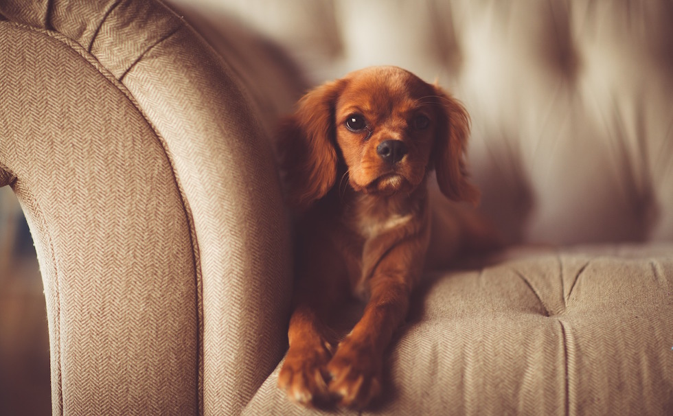 cute dog on sofa